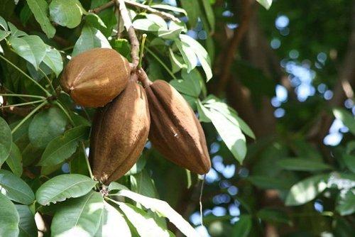 Какао бобы на дереве