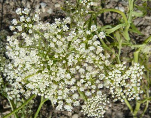 Цветущее растение Анис