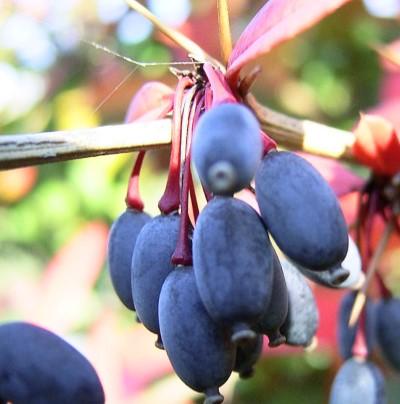 Синий барбарис на дереве