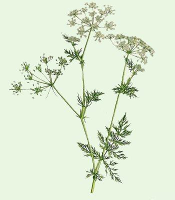 Пряное растение из которого получают специю - зерна тмина