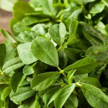 Свежие листья растения фенгурек - шамбала