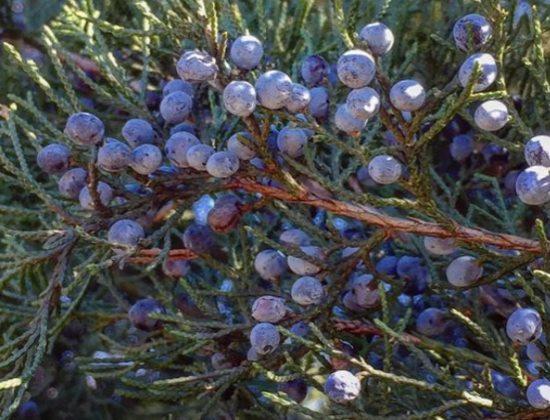Растение Можжевельник со спелыми ягодами