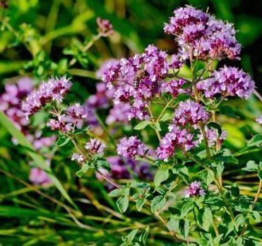 Растение Орегано, из которого производят одноименную сушеную специю