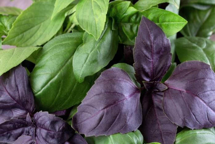 Базилик растение зеленые и синие листочки