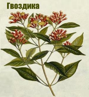 Ветка вечнозеленого  гвоздичного дерева гвоздика бутон